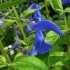 Salvia patens 'Blue Angel' -- Blauer Salbei
